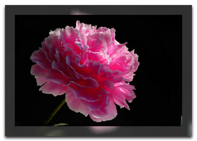 The healing power of a peony for your health. Planting and care and why it is so popular in Chinese centenarians