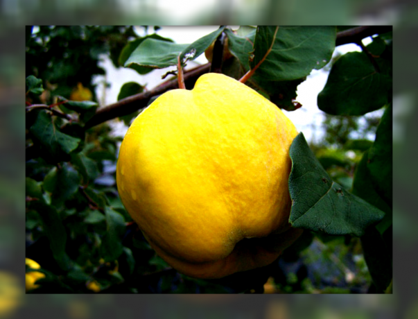 What you need to know about the simple cultivation of quince to you to get high yields