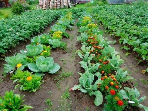 As friends with each other horticultural crops or planting method, which gives a good yield