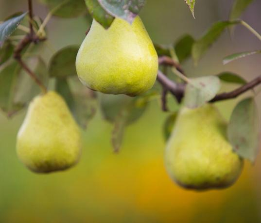 Diseases of pear and how it should be treated