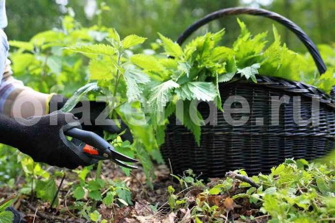 Fertilizer nettle: A simple way of cooking