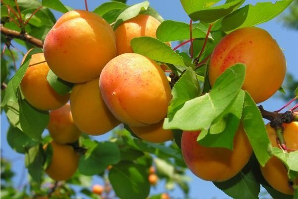 How to Grow Apricot and get a good crop