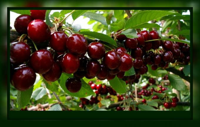 Required care cherries in August and September: only 5 steps to a great harvest, which need to be done now