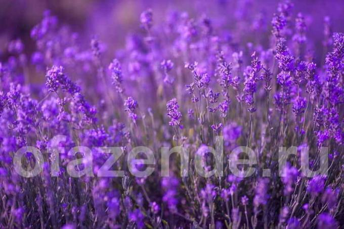 28 species of Lavender for your garden: Description and secrets of growing