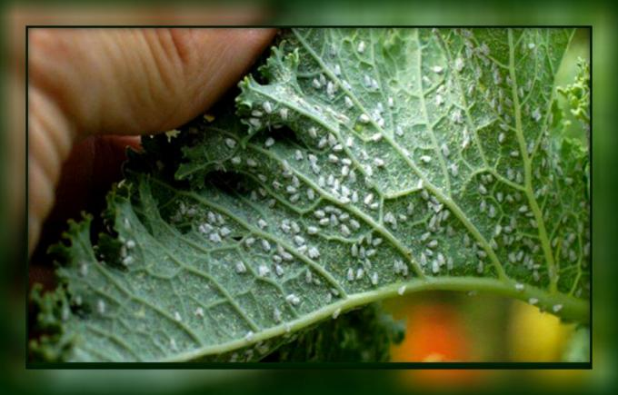 How to easily get rid of whitefly on tomatoes and cucumbers, folk ways, without the use of chemicals
