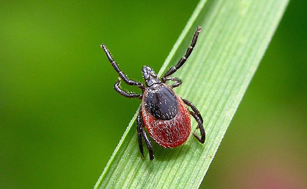How to protect the site from ticks: free national method