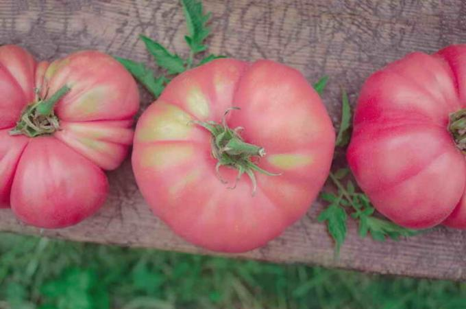 What pink tomatoes have a high yield?
