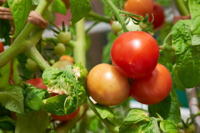 How to speed up the ripening of tomatoes