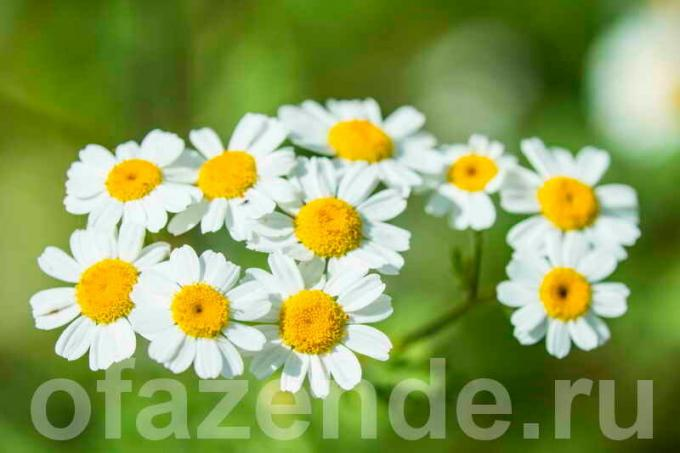 Feverfew. Illustrations for the article is used for a standard license © ofazende.ru