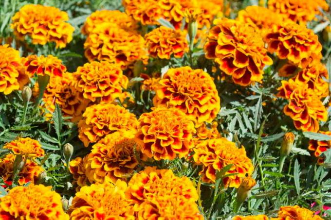 Planting marigolds in the ground sprouts without