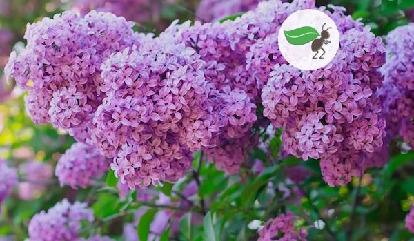 Getting rid of the root overgrown lilac: how to solve the problem for good