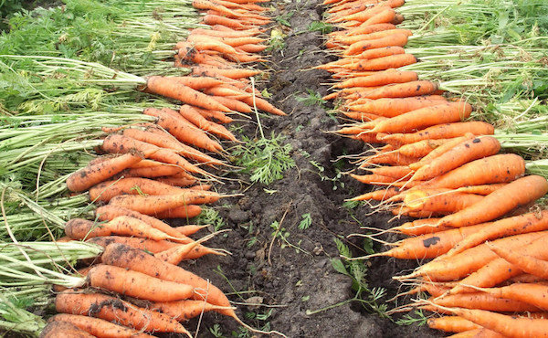 How to keep fresh carrots all winter: 5 Secrets