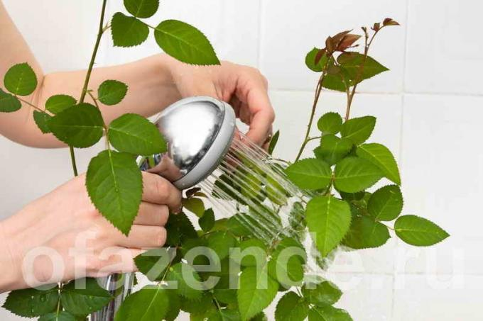 How to wash your indoor plants the leaves of dust, to gleaming?