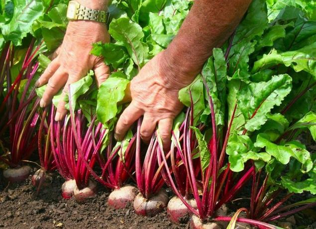 2 secret for successful beet cultivation