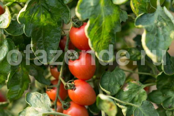 Caring for tomatoes in greenhouses