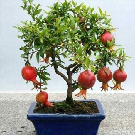 We grow pomegranate from seeds. Fruits without inoculation!