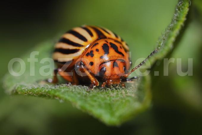 Getting rid of the Colorado potato beetle without chemicals
