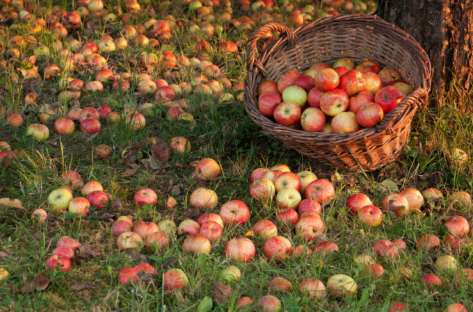 How to use windfalls of apples with the use of (or) how to turn waste into profit