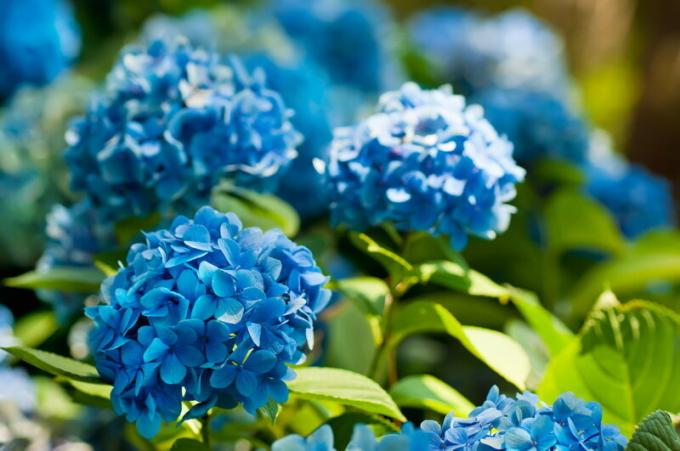 How to change the color of hydrangeas?