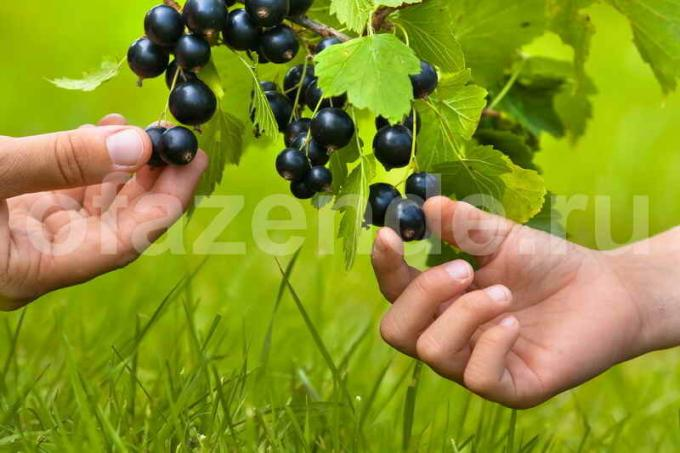 "Blackcurrant: pest control without the ""chemistry"""