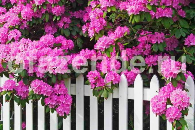 Rhododendrons: partial shade and acidic soil - gardeners advice