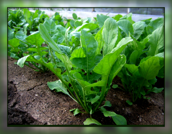From which 10 will help you to get rid of ailments Arugula, and how to grow it
