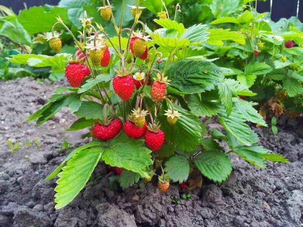 Growing strawberries and strawberry
