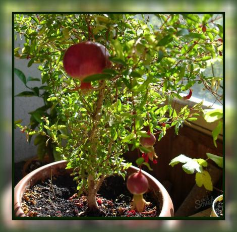 How to grow pomegranate at home, so that you can feast on tasty fruit directly from the window sill!