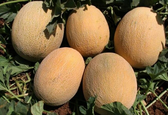 How to grow a good crop of melons in the garden. practical advice