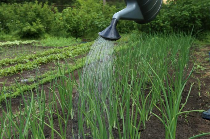 How to grow a large onion and keep it until next summer