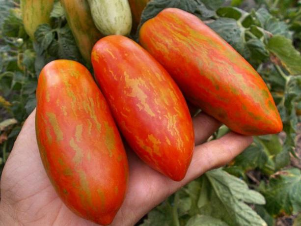 Three varieties of early tomatoes, which will certainly surprise you with its uniqueness and productivity (part 4)