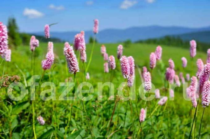 Persicaria for your garden: types, description and growing secrets