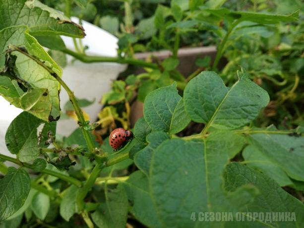 As I brought the Colorado potato beetle on a potato field, simple folk method (I helped, and will help you)