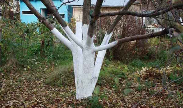 A procedure that helps fruit trees easier to survive the winter