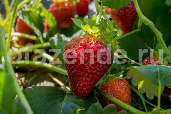 Terms of large strawberries without chemicals
