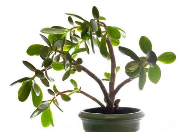 How do Crassula (money tree) beautiful. Simple, but the workers' councils
