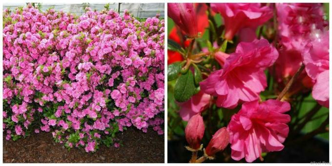 Hardy rhododendrons - ten most attractive varieties with photos and description